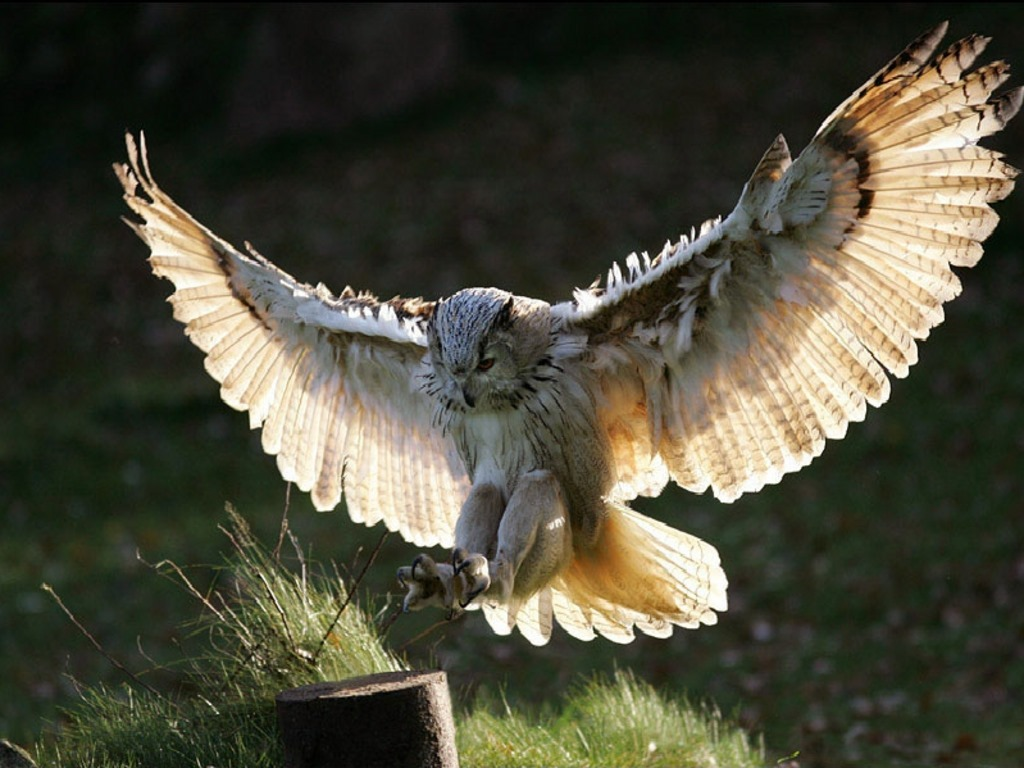 1024x768 > Great Horned Owl Wallpapers