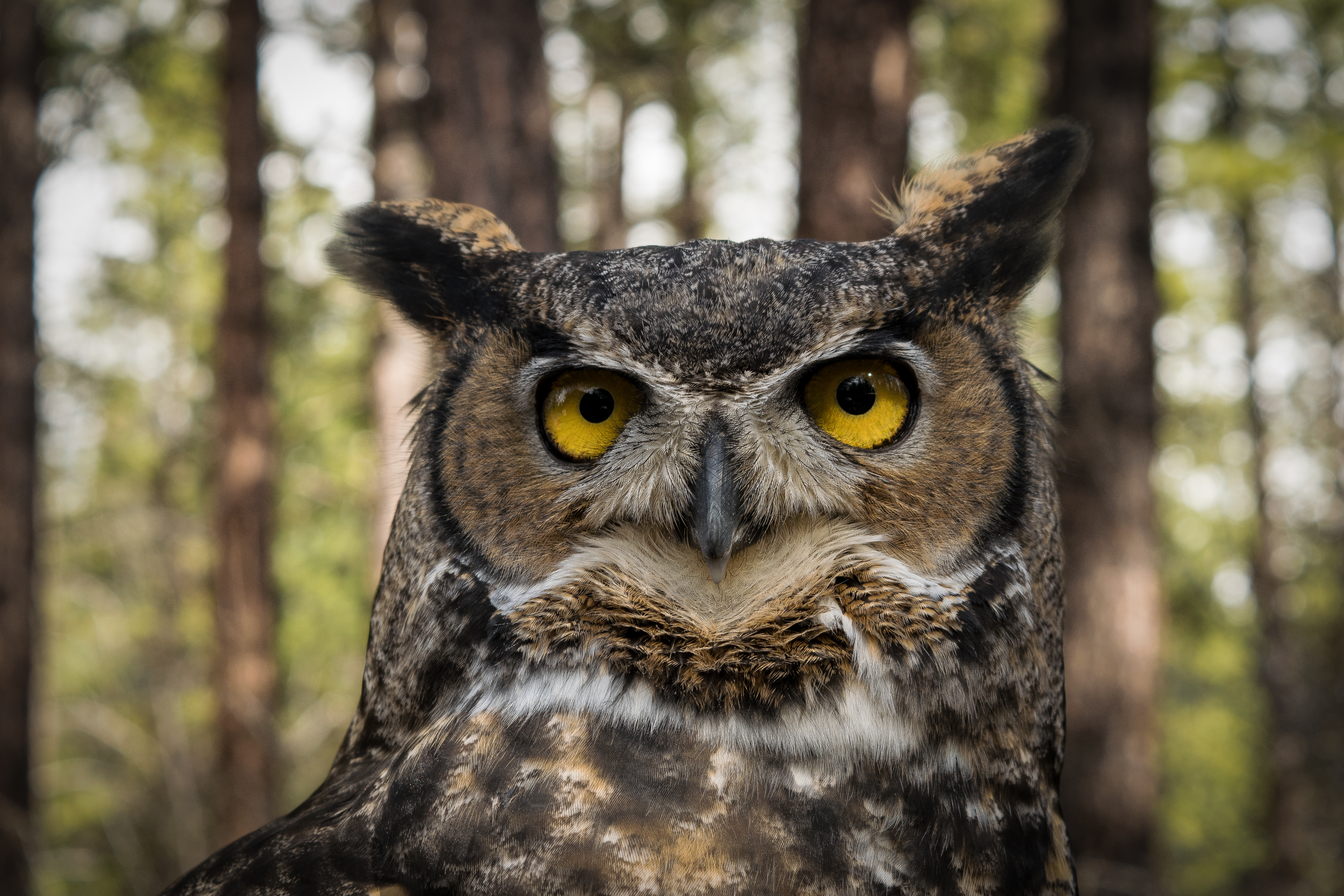 Great Horned Owl Pics, Animal Collection