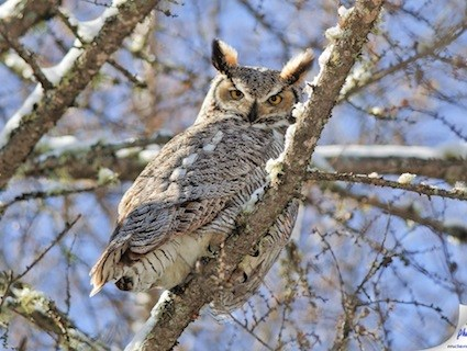 Great Horned Owl High Quality Background on Wallpapers Vista
