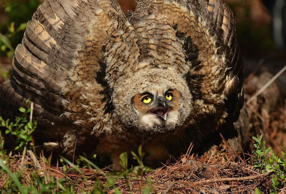 Nice Images Collection: Great Horned Owl Desktop Wallpapers