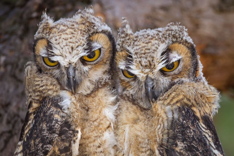 Images of Great Horned Owl | 960x640