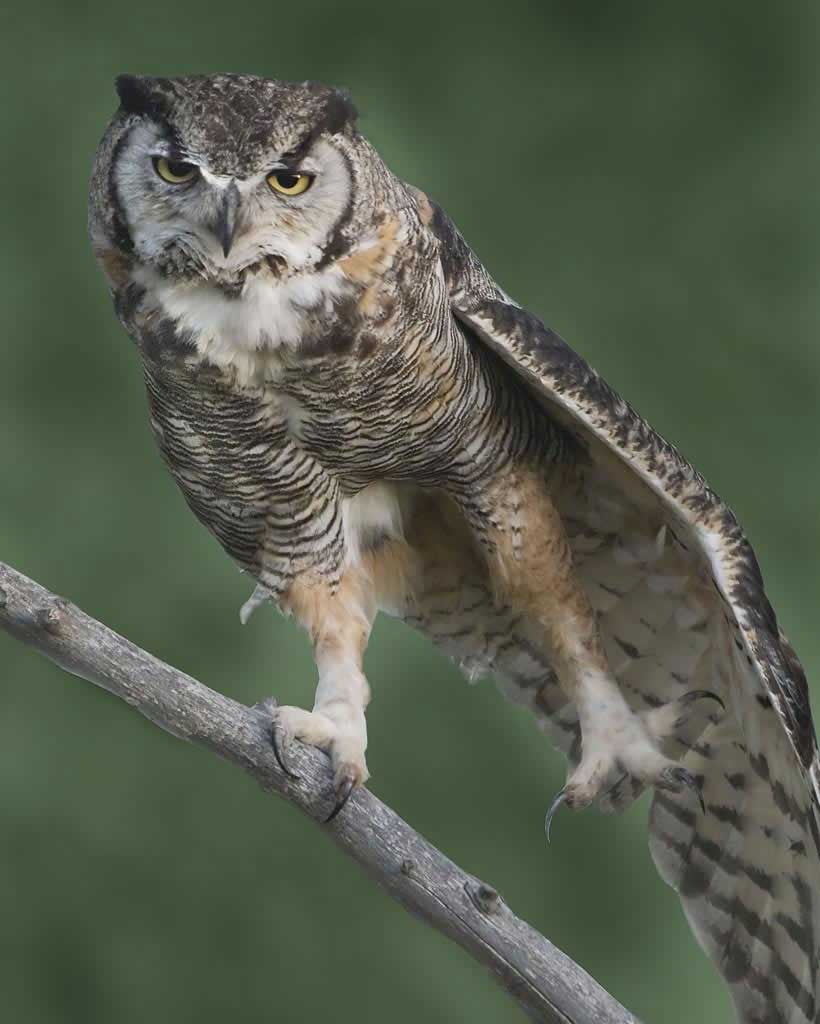 820x1024 > Great Horned Owl Wallpapers