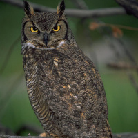 Amazing Great Horned Owl Pictures & Backgrounds