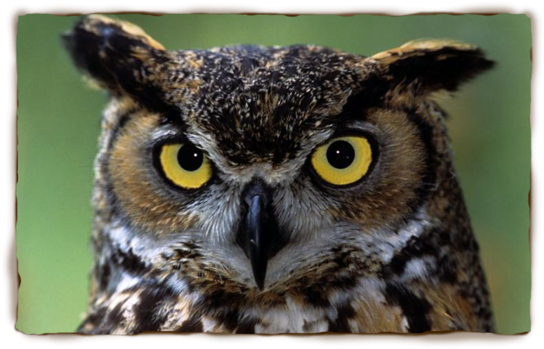 Great Horned Owl Backgrounds on Wallpapers Vista