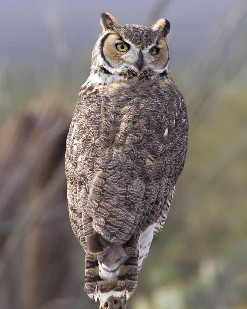 High Resolution Wallpaper | Great Horned Owl 820x1024 px