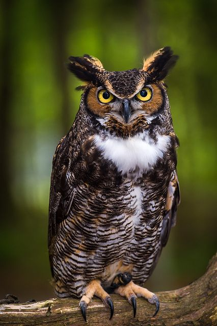 High Resolution Wallpaper | Great Horned Owl 426x640 px