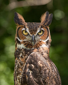 Nice wallpapers Great Horned Owl 220x275px