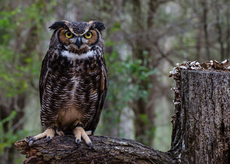 960x687 > Great Horned Owl Wallpapers