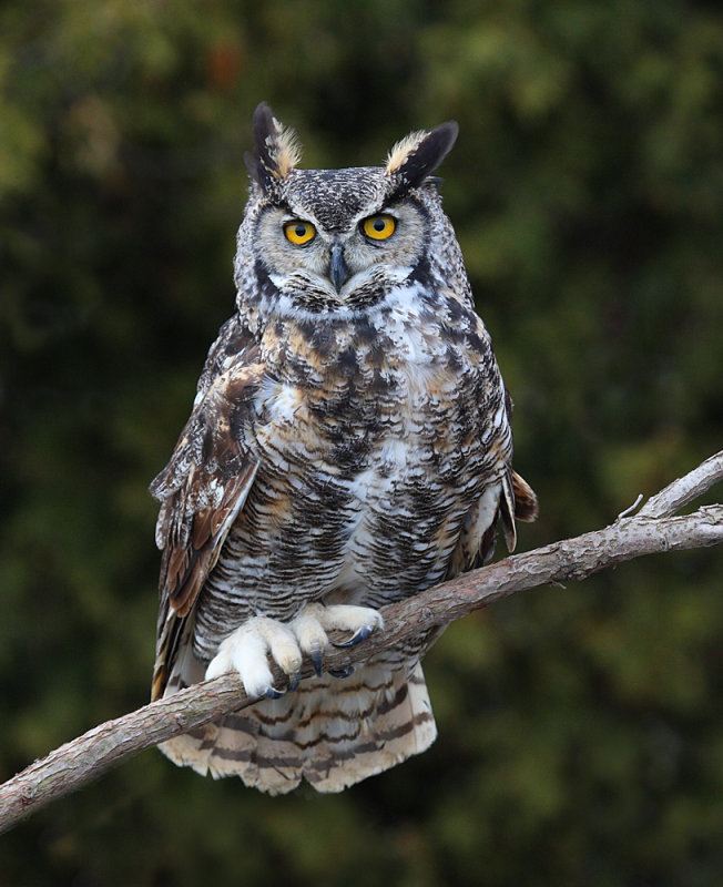 652x800 > Great Horned Owl Wallpapers