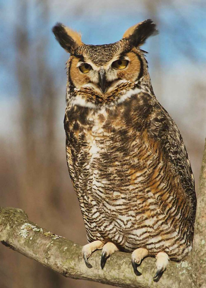 Great Horned Owl Backgrounds, Compatible - PC, Mobile, Gadgets| 700x980 px