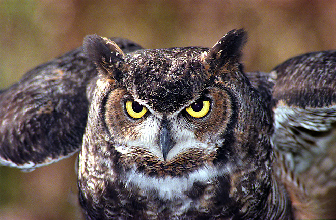 Great Horned Owl Backgrounds, Compatible - PC, Mobile, Gadgets| 660x432 px