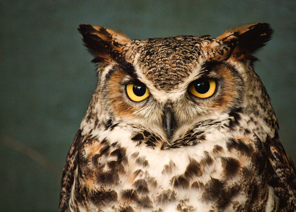 HQ Great Horned Owl Wallpapers | File 591.14Kb