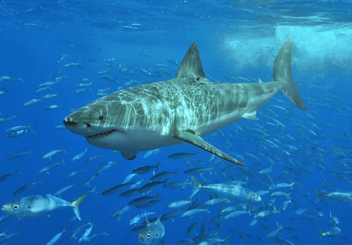 Great White Shark Backgrounds on Wallpapers Vista