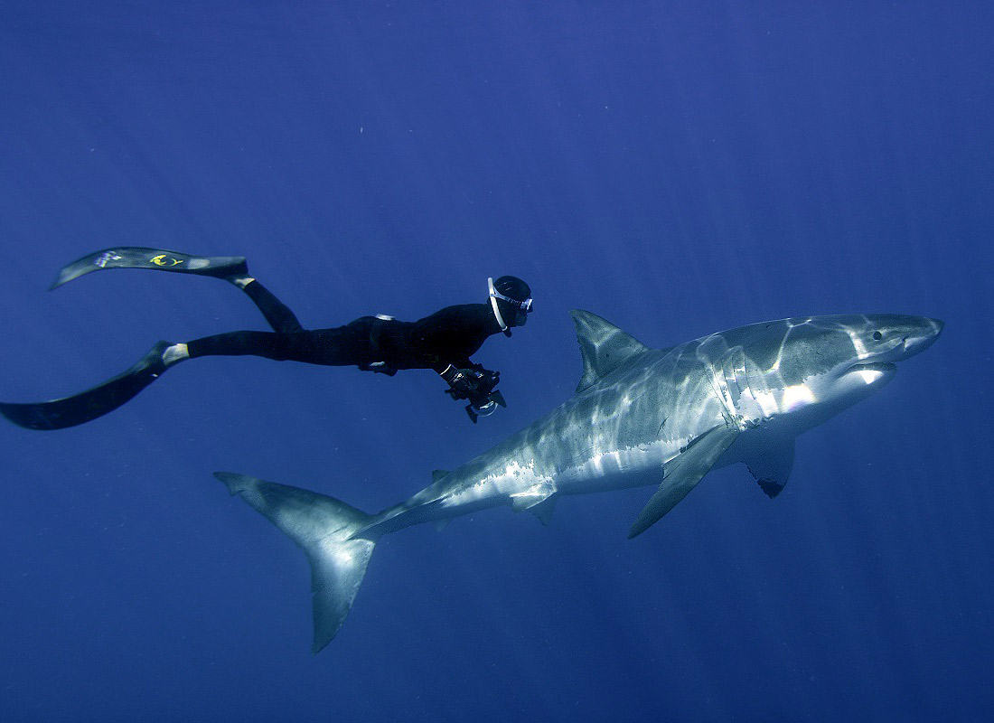 Great White Shark High Quality Background on Wallpapers Vista