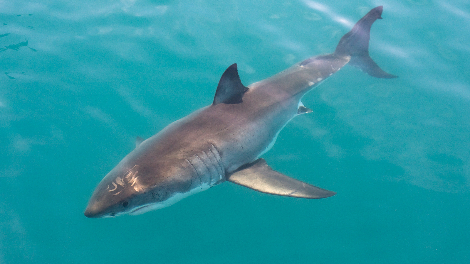 Great White Shark Backgrounds, Compatible - PC, Mobile, Gadgets  1600x900 px