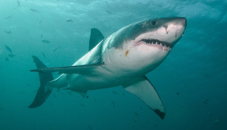 Nice wallpapers Great White Shark 750x430px