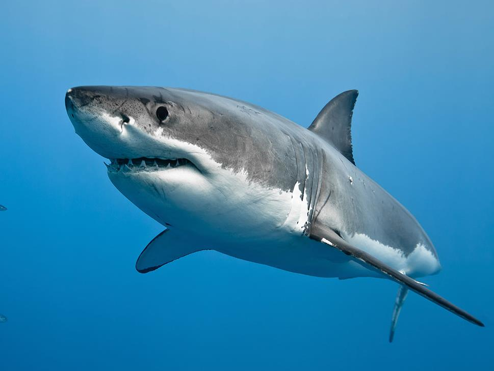 Amazing Great White Shark Pictures & Backgrounds