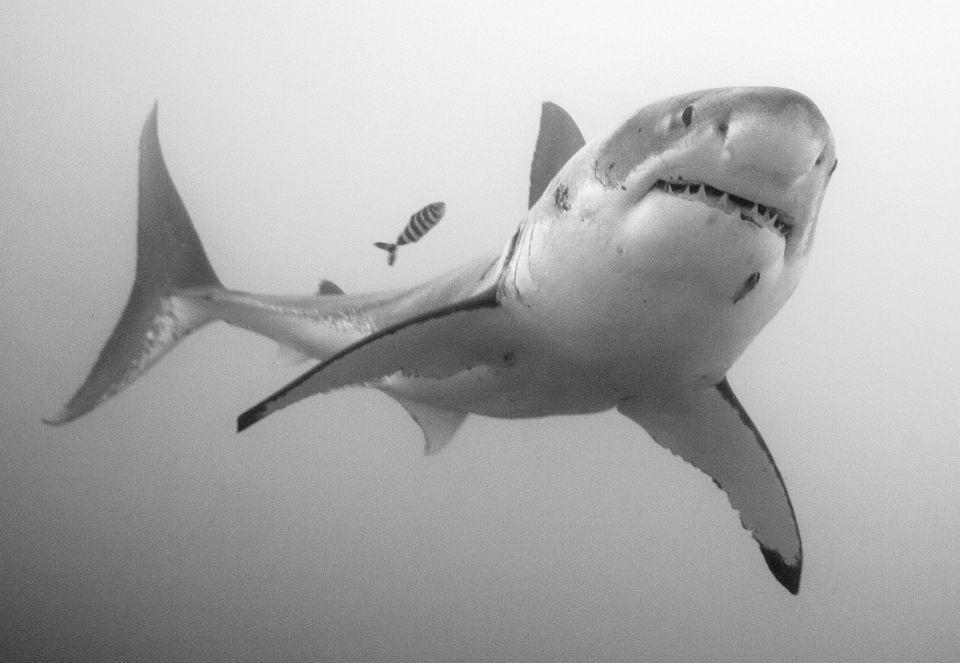 High Resolution Wallpaper   Great White Shark 960x663 px