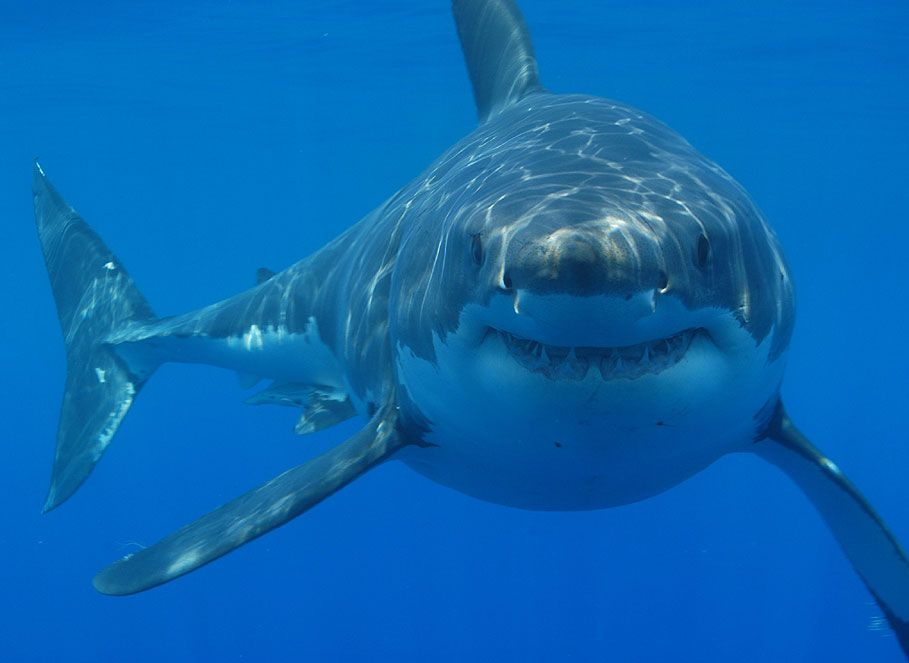 Nice wallpapers Great White Shark 909x663px