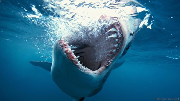 High Resolution Wallpaper   Great White Shark 624x351 px
