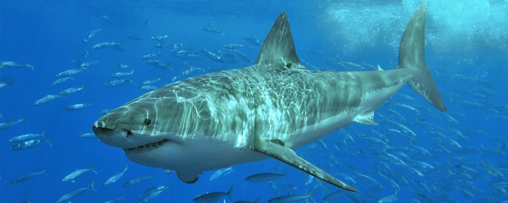 1000x400 > Great White Shark Wallpapers