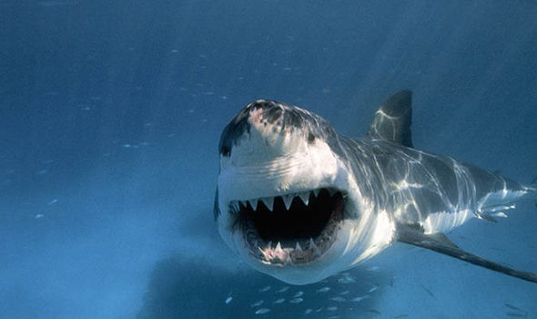 Images of Great White Shark   590x350
