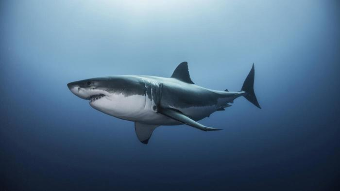 Great White Shark Pics, Animal Collection