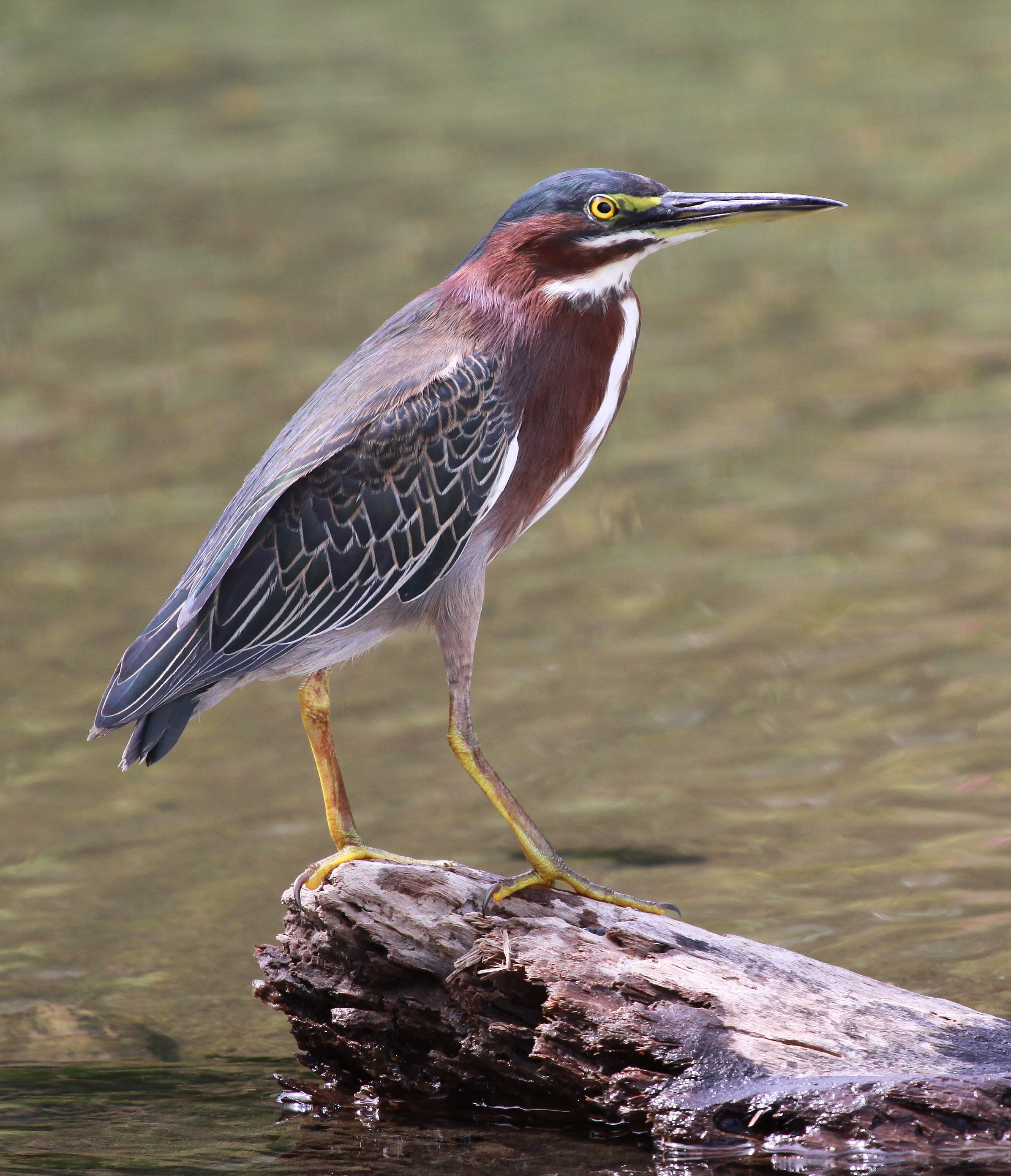 Amazing Green Heron Pictures & Backgrounds