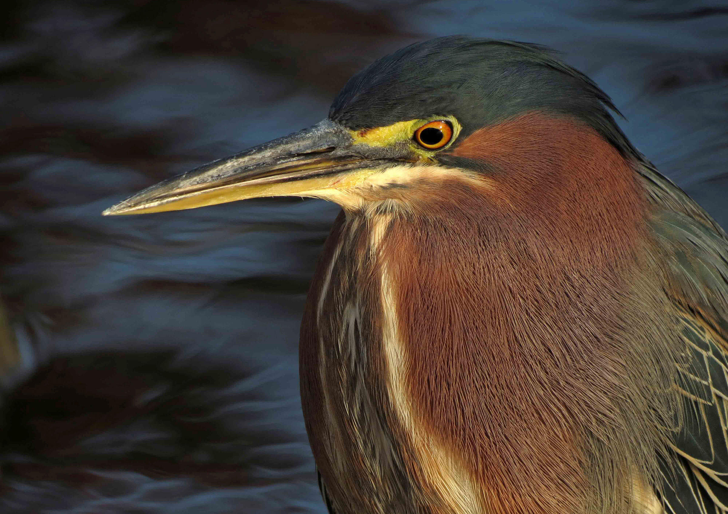 Green Heron Backgrounds, Compatible - PC, Mobile, Gadgets  2400x1697 px
