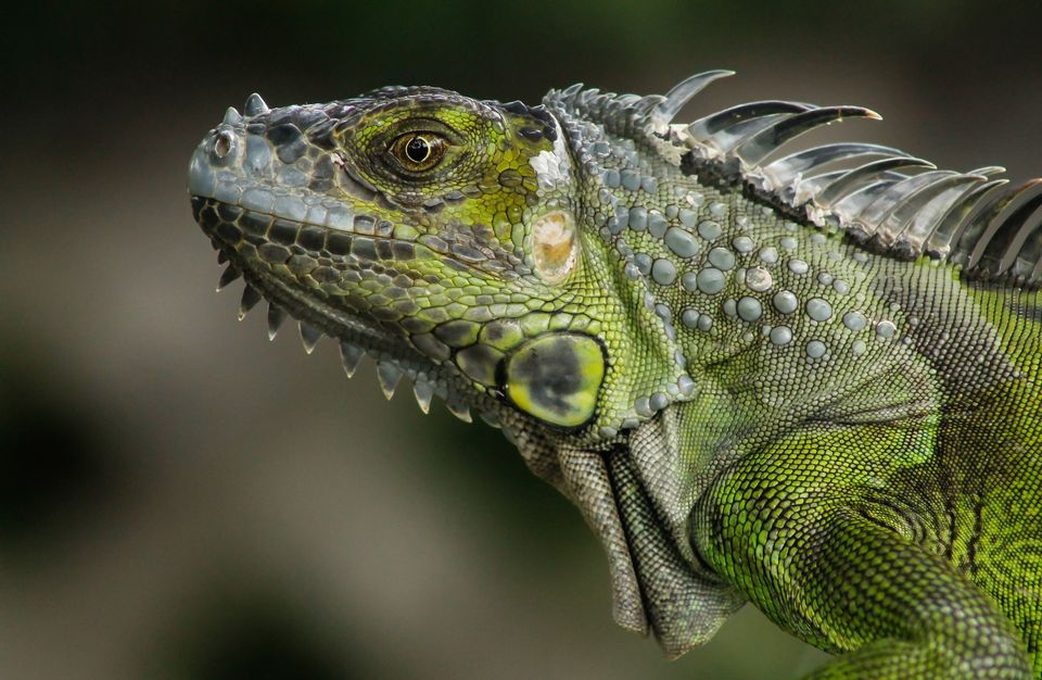 HD Quality Wallpaper | Collection: Animal, 960x626 Iguana