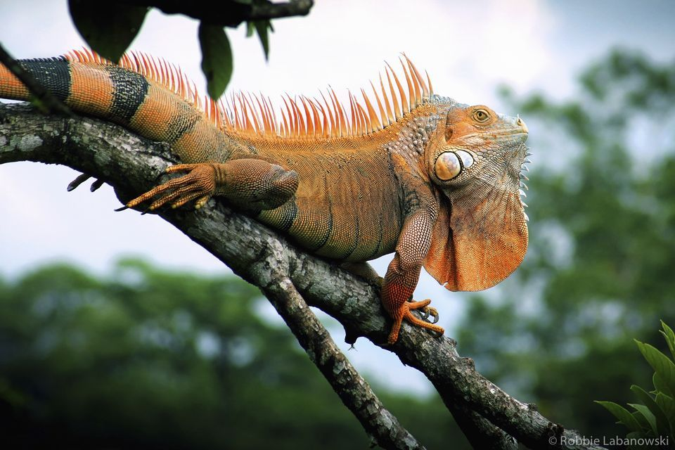 Iguana Pics, Animal Collection