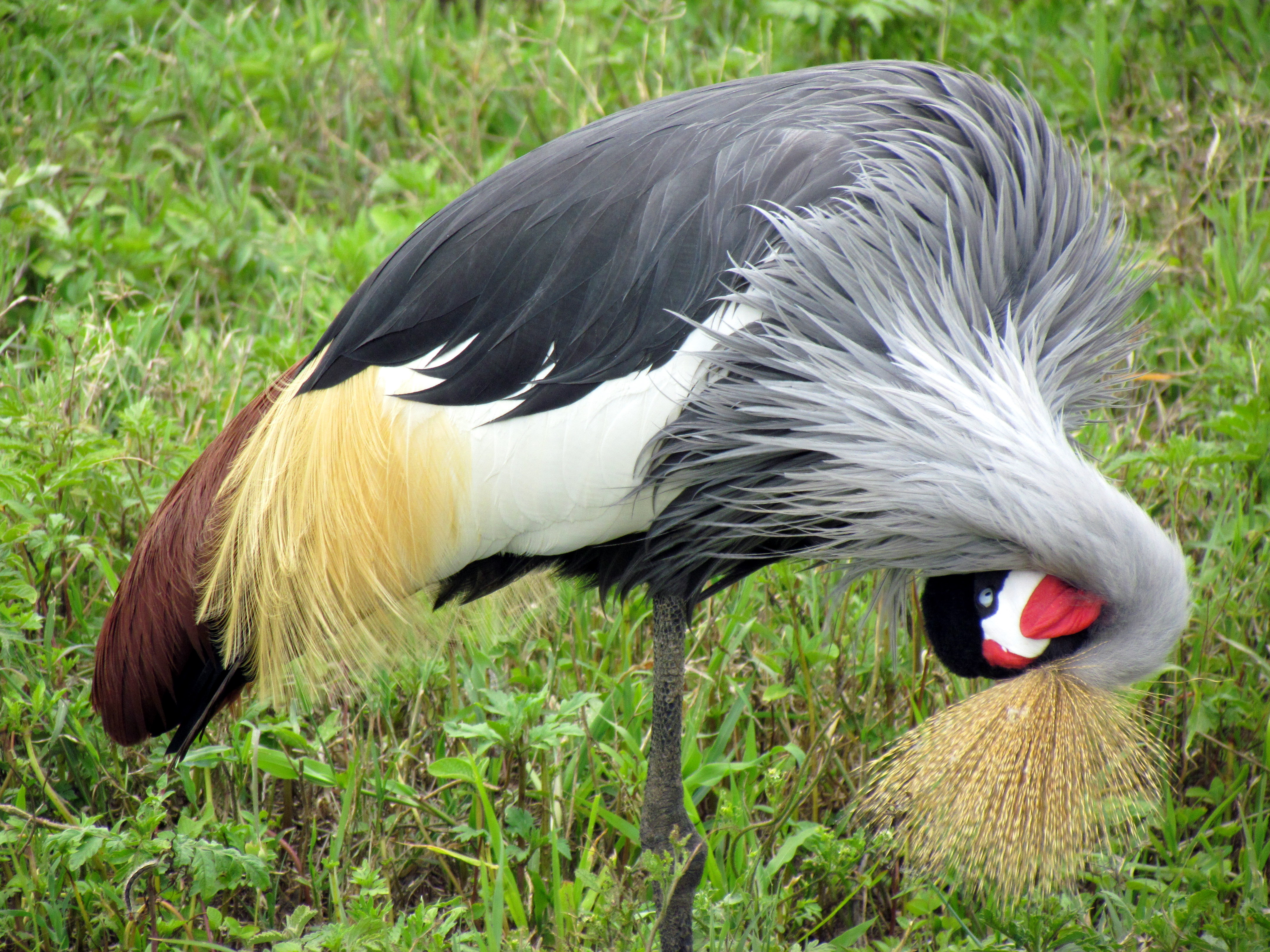 HD Quality Wallpaper | Collection: Animal, 4320x3240 Grey Crowned Crane