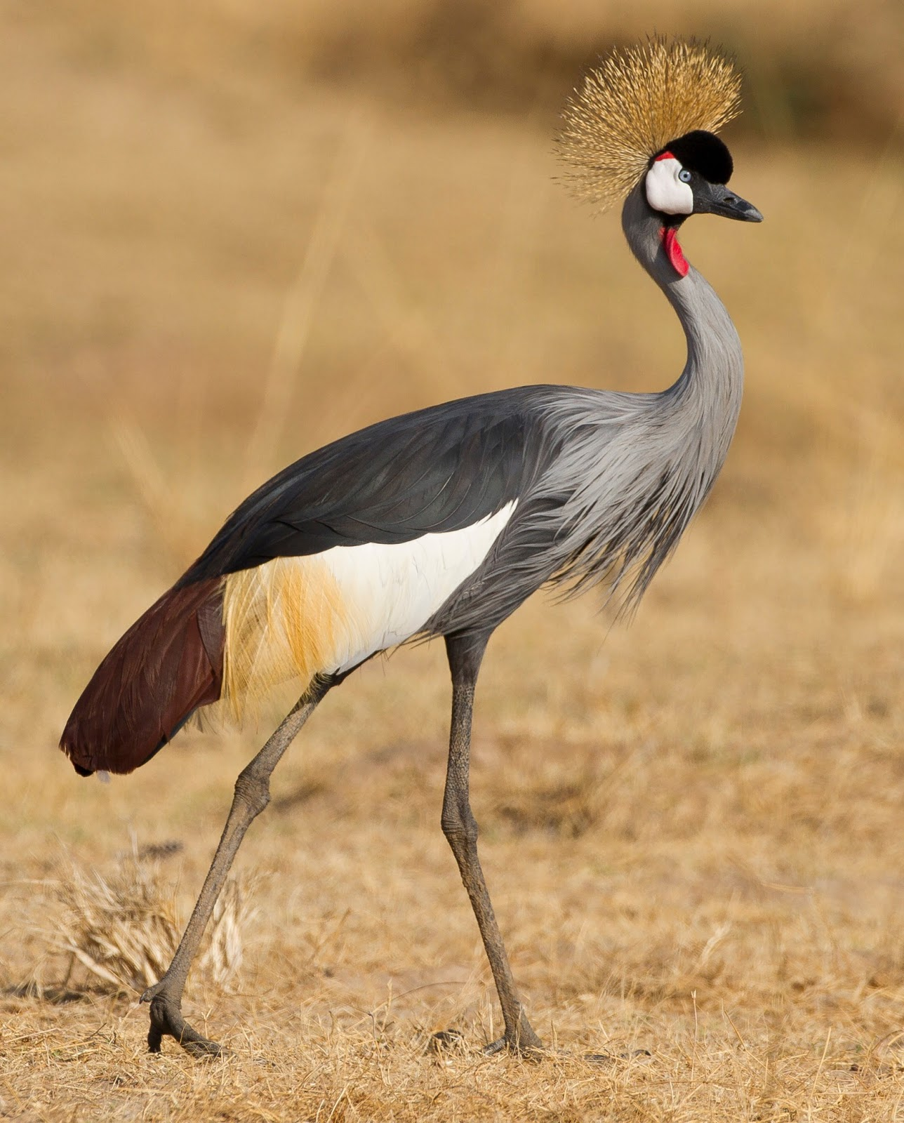 Grey Crowned Crane High Quality Background on Wallpapers Vista