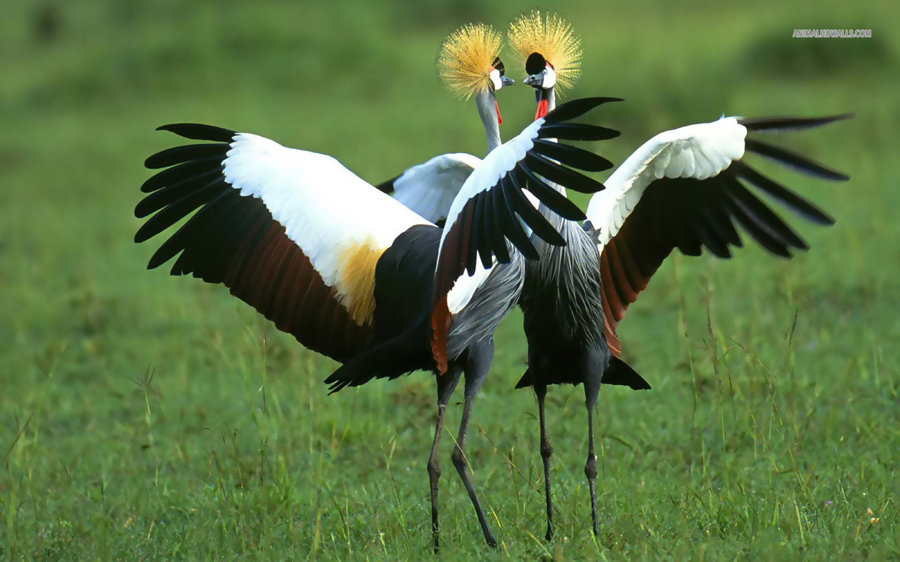 Images of Grey Crowned Crane | 1280x800