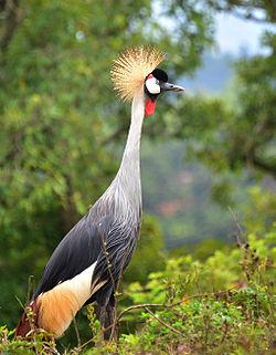 Grey Crowned Crane Pics, Animal Collection