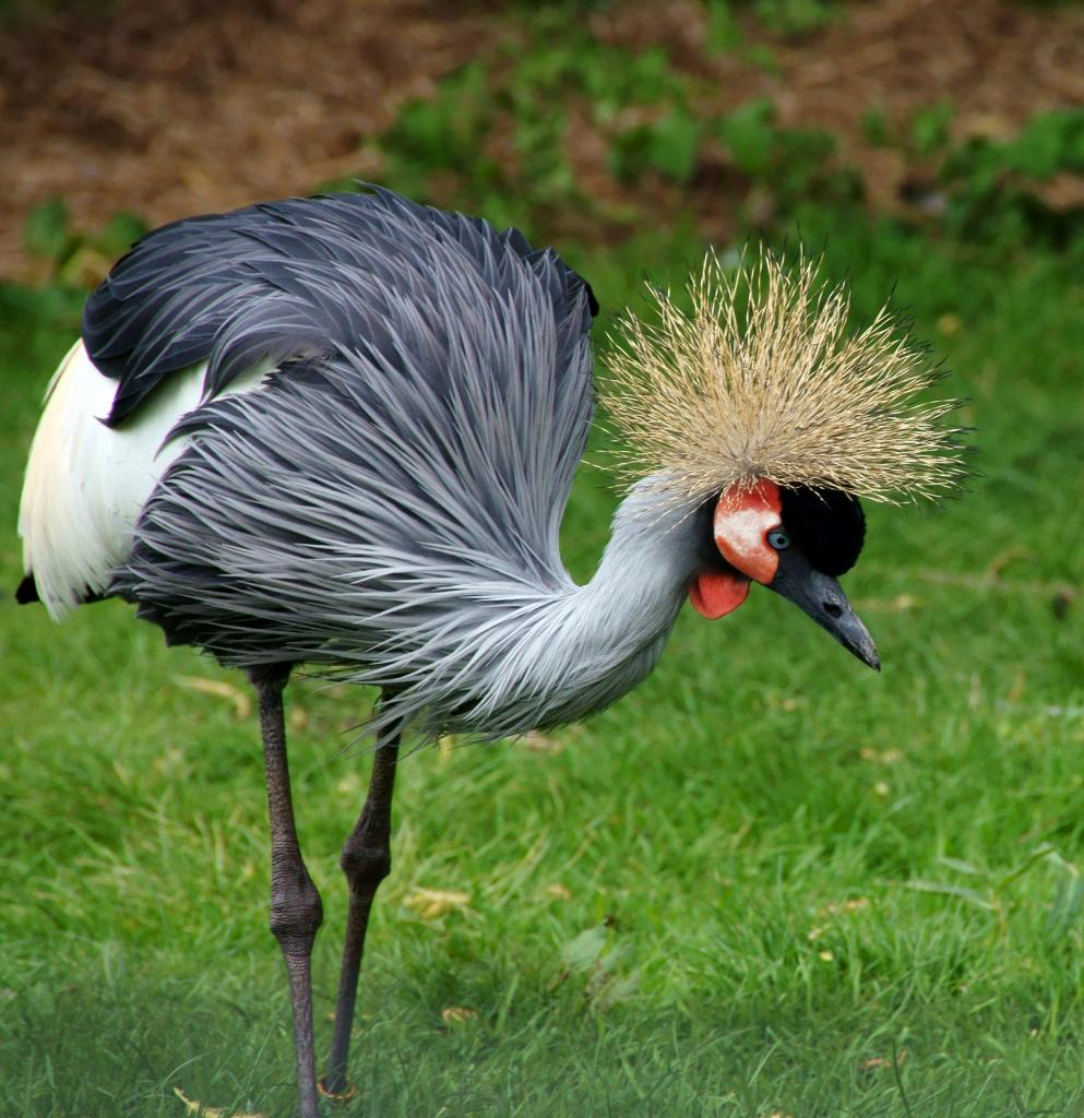 Nice wallpapers Grey Crowned Crane 993x1024px
