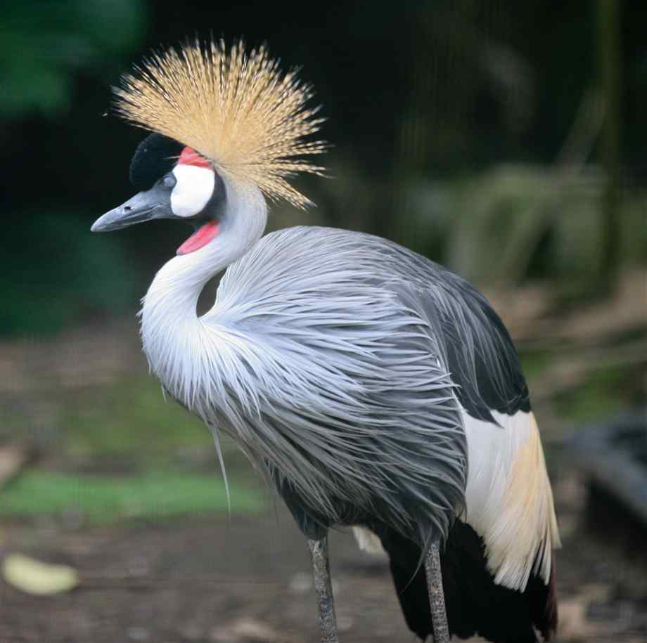 Amazing Grey Crowned Crane Pictures & Backgrounds