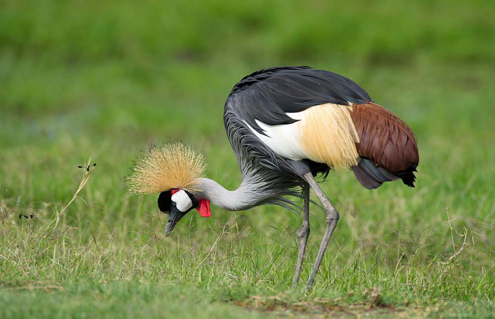 Nice Images Collection: Grey Crowned Crane Desktop Wallpapers