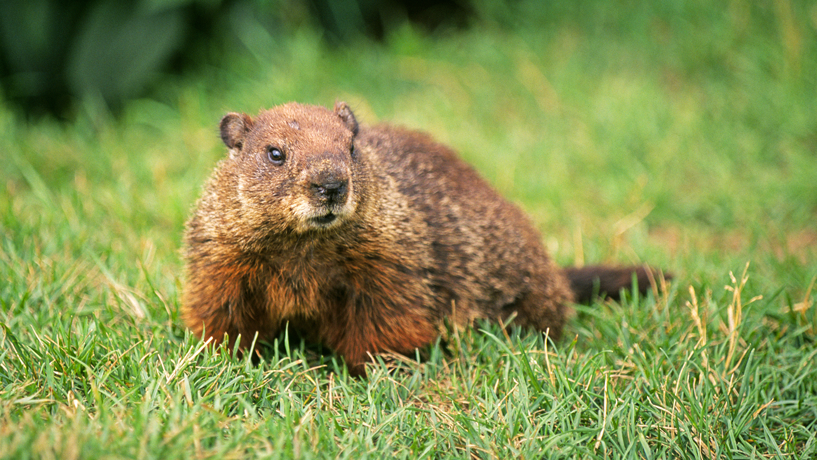 Nice Images Collection: Groundhog Desktop Wallpapers