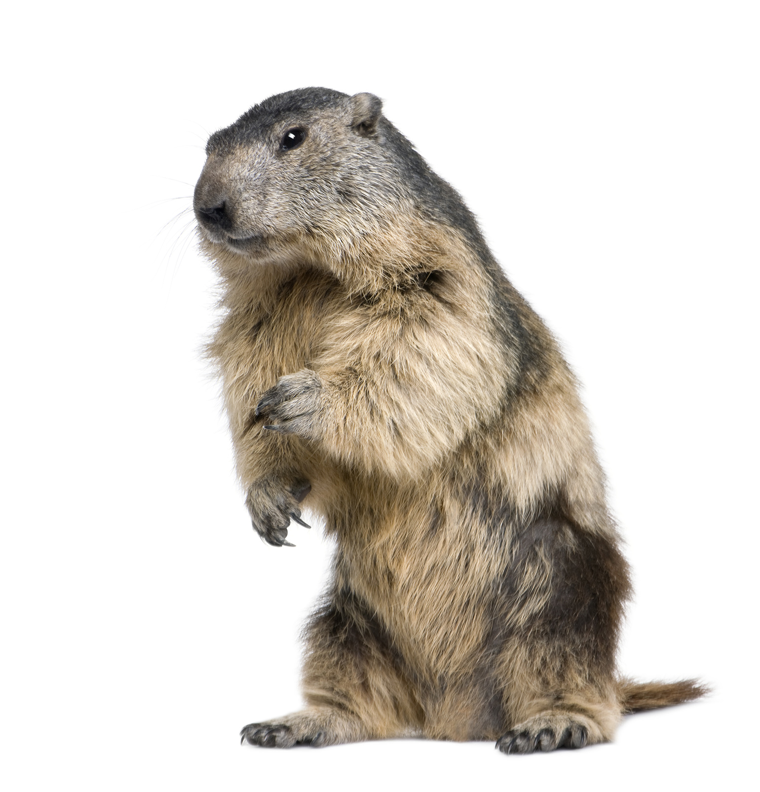Images of Groundhog | 1500x1563