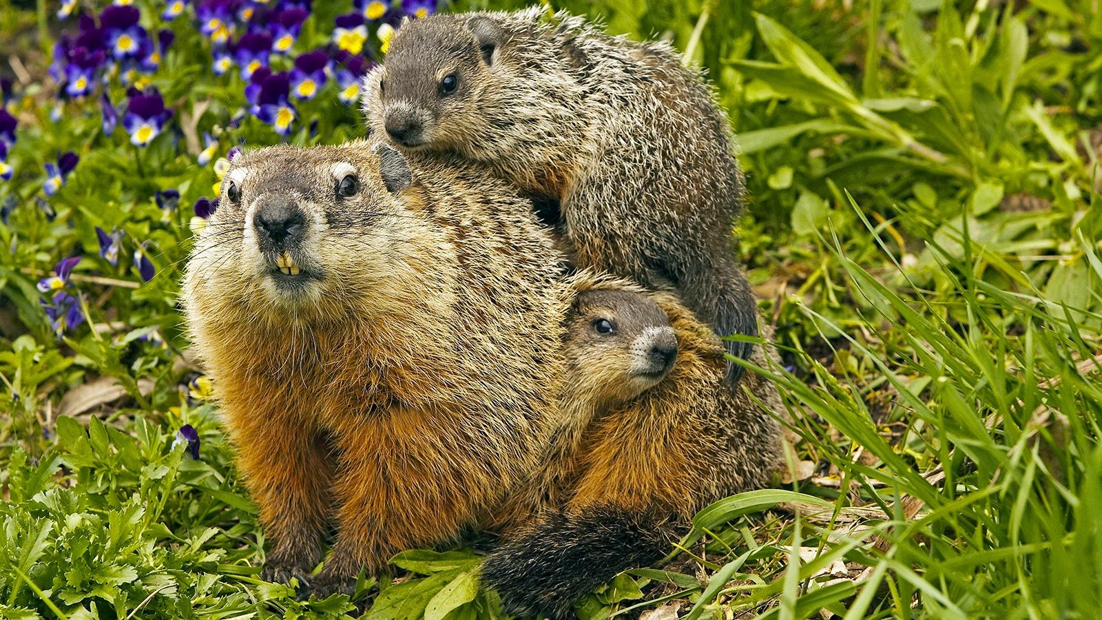 Groundhog High Quality Background on Wallpapers Vista