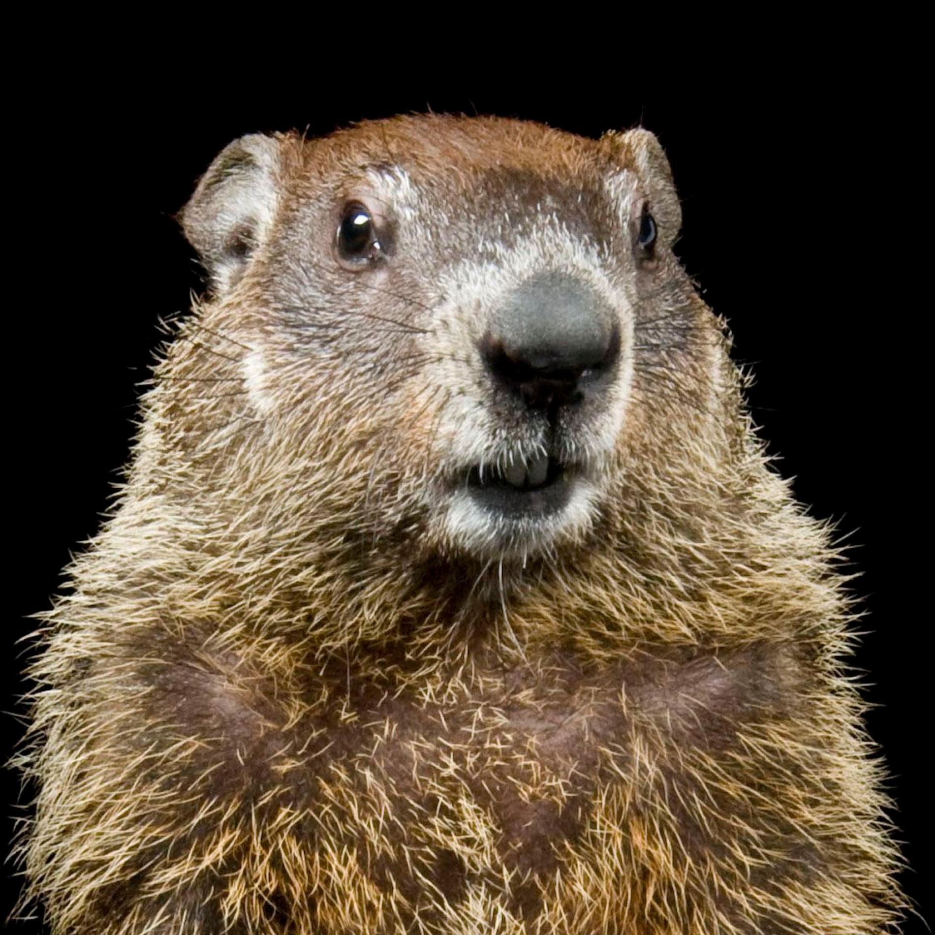 HD Quality Wallpaper | Collection: Animal, 1900x1900 Groundhog