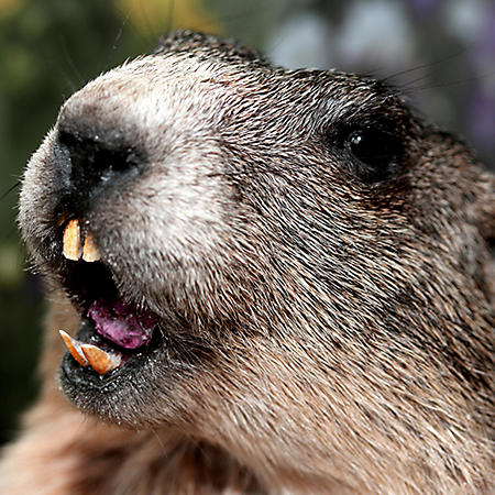 Groundhog Backgrounds, Compatible - PC, Mobile, Gadgets| 450x450 px
