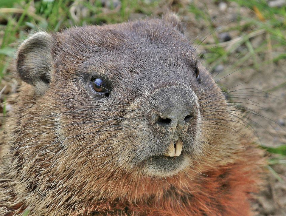 Groundhog Backgrounds, Compatible - PC, Mobile, Gadgets| 960x724 px