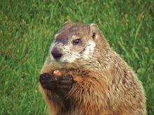 Groundhog Pics, Animal Collection