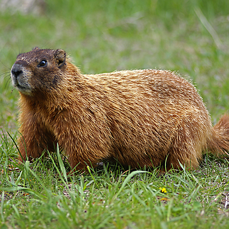 Images of Groundhog | 450x450