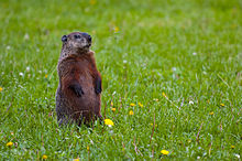 Groundhog Backgrounds on Wallpapers Vista