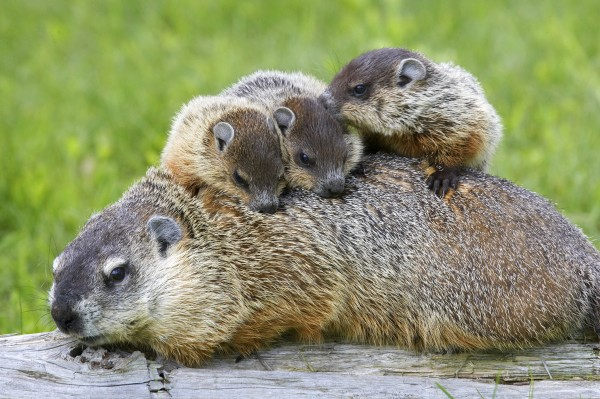 Amazing Groundhog Pictures & Backgrounds