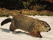 HD Quality Wallpaper | Collection: Animal, 220x165 Groundhog