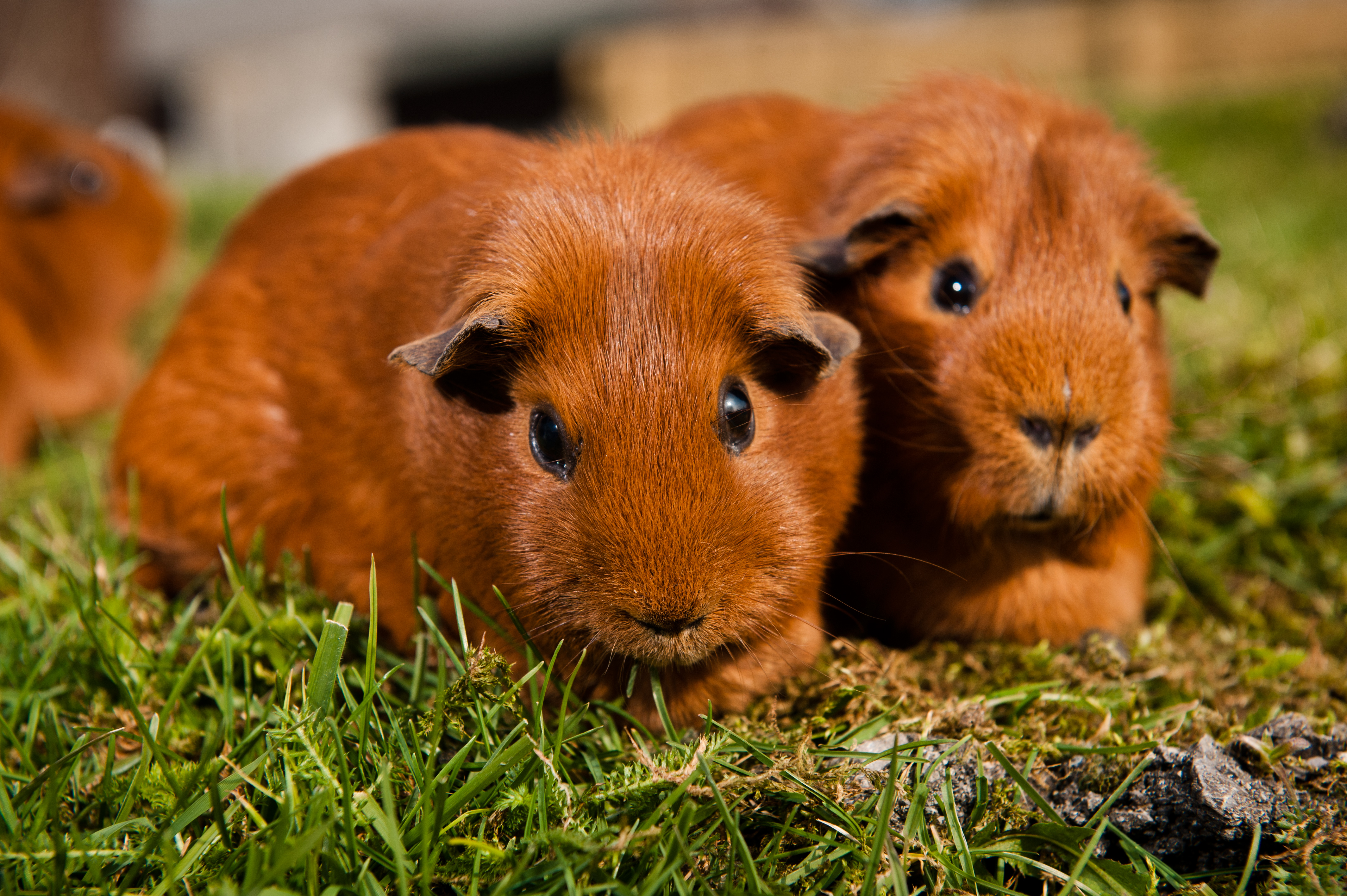 Nice wallpapers Guinea Pig 4256x2832px
